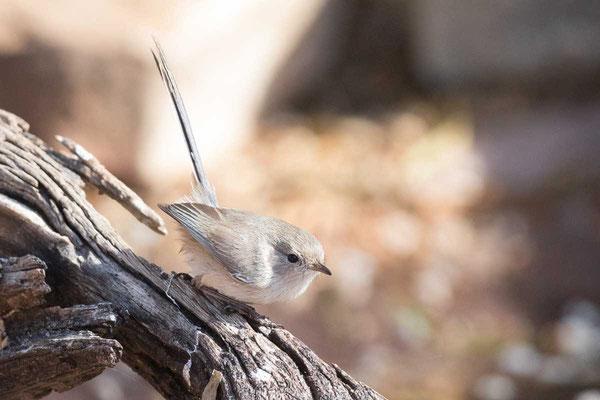 Weißflügel-Staffelschwanz,White-winged fairywren,  Malurus leucopterus - 5