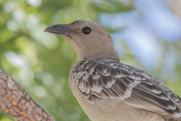 Graulaubenvogel ( Chlamydera nuchalis) - 4
