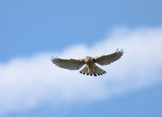 Männlicher Turmfalke (Falco tinnunculus) - 2