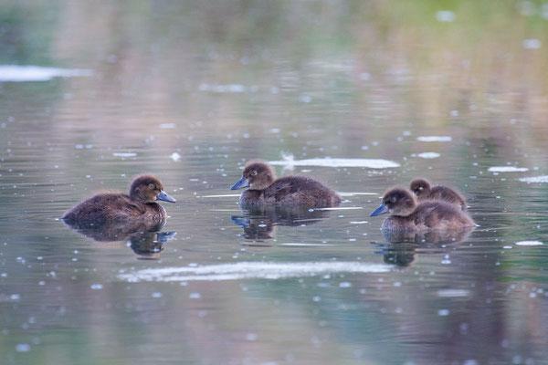 Reiherente,  Aythya fuligula, Tufted Duck - 9