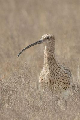 Großer Brachvogel (Numenius arquata) - 5
