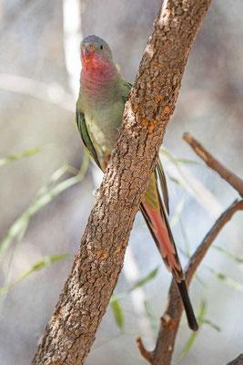 Alexandrasittich, Princess parrot, Polytelis alexandrae - 2