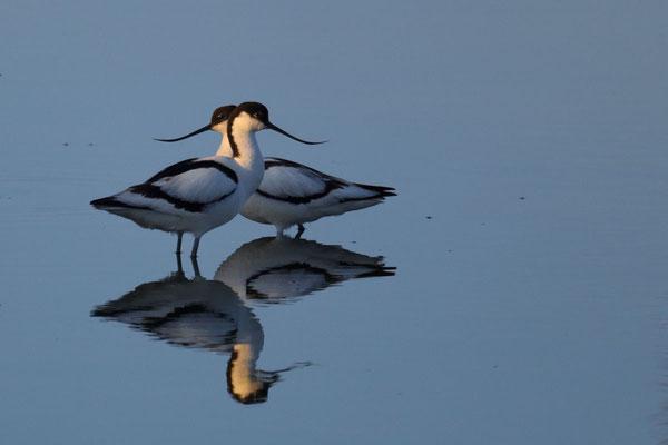 Säbelschnäbler (Recurvirostra avosetta) - 2
