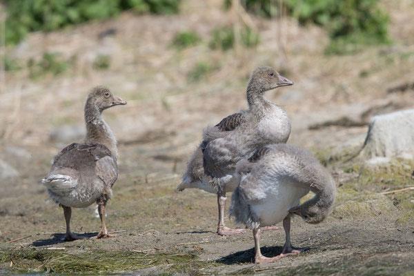 Graugans, Anser anser, Greylag goose - 10