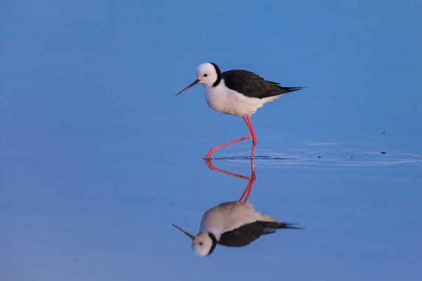 Weißgesicht-Stelzenläufer, white-headed stilt, Himantopus leucocephalus - 5