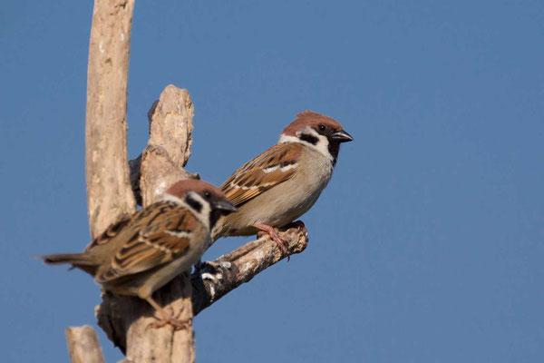 Feldsperling (Passer montanus) - Tree Sparrow - 3