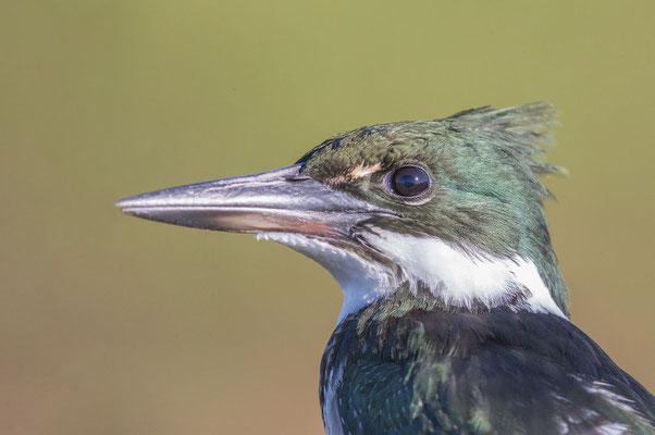 Grünfischer (Chloroceryle americana) - Green kingfisher - 5