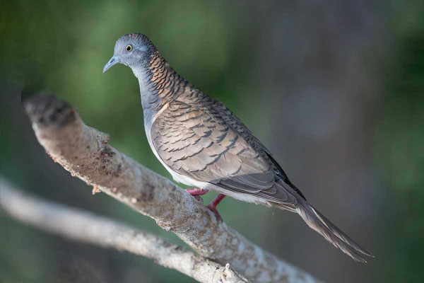 Kupfernackentaube (Geopelia humeralis) - Bar-shouldered dove - 6