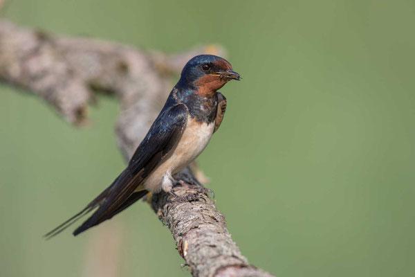 Rauchschwalbe, Hirundo rustica, Barn Swallow - 9