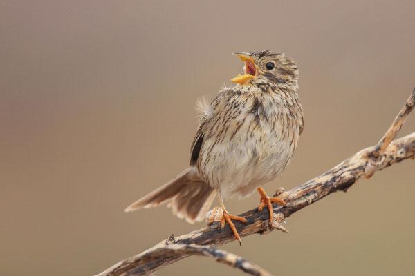Singende Grauammer (Emberiza calandra) auf der Insel Fuerteventura.