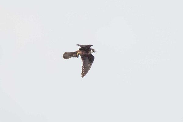 Eleonorenfalke (Falco eleonorae) - Eleonora's falcon - 7