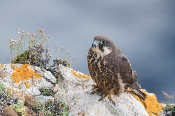 Eleonorenfalke (Falco eleonorae) - Eleonora's falcon - 4