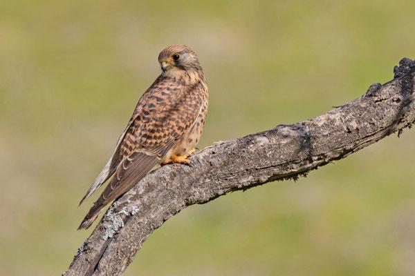 Weiblicher Turmfalke (Falco tinnunculus canariensis) der westkanarischen Unterart.