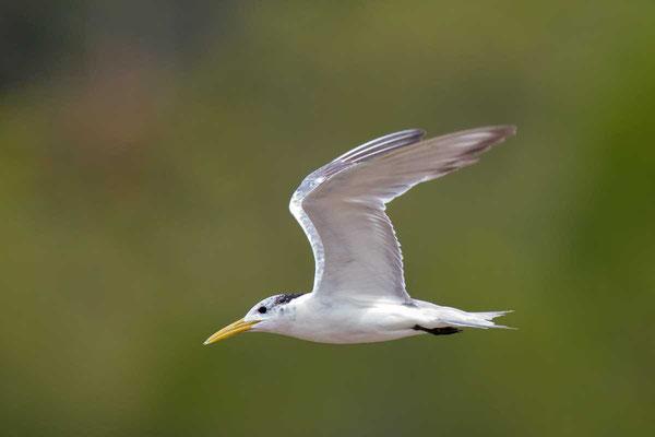 Eilseeschwalbe (Thalasseus bergii) - Greater crested tern - 2