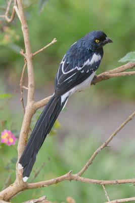 Elstertangare (Cissopis leveriana) - Magpie Tanager - 3