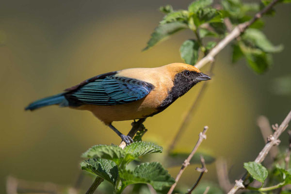 Isabelltangare (Tangara cayana) - Burnished-buff tanager - 1