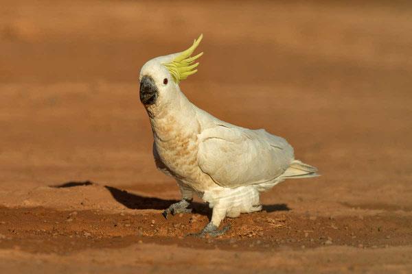 Gelbhaubenkakadu, Sulphur-crested cockatoo, Cacatua galerita - 1