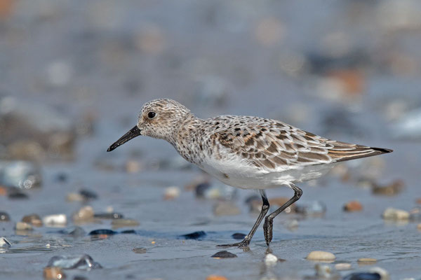 Sanderling (Calidris alba) - 1
