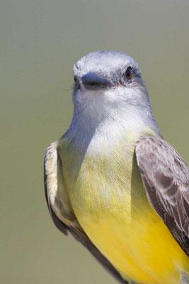 Trauerkönigstyrann (Tyrannus melancholicus); Tropical Kingbird - 2