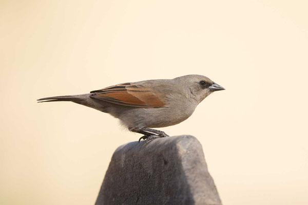 Graukuhstärling (Agelaioides badius) - Greyish Baywing - 1