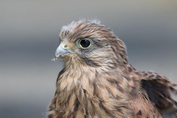 Männlicher Turmfalke (Falco tinnunculus) - 3