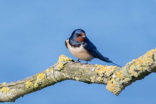 Rauchschwalbe, Hirundo rustica, Barn Swallow - 6