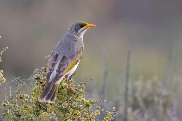 Gelbstirn-Schwatzvogel, Yellow-throated Miner, Manorina flavigula - 1
