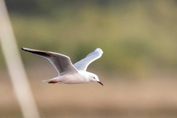 Dünnschnabelmöwe, Slender-billed gull, Chroicocephalus genei - 2