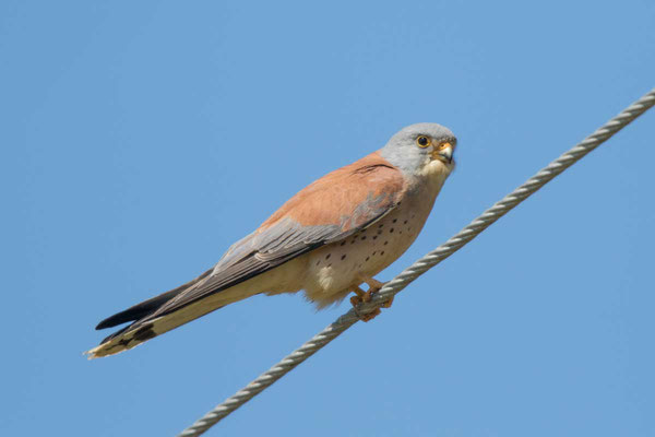 Rötelfalke,  Lesser kestrel, Falco naumanni - 1