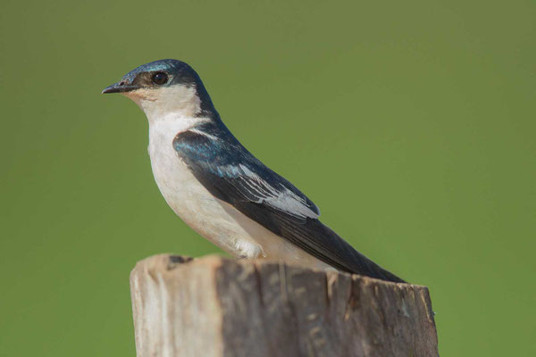 Cayenneschwalbe, Tachycineta albiventer, White-winged Swallow - 1