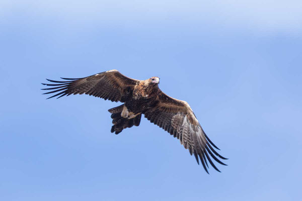 Keilschwanzadler, Wedge-tailed Eagle, Aquila audax - 4