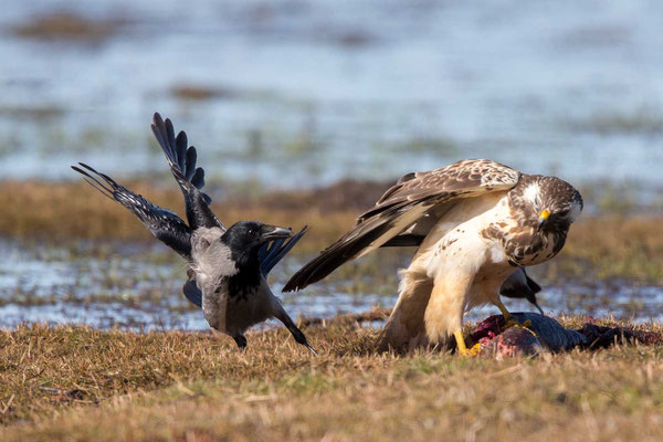 Nebelkrähe (Corvus corone) - 12