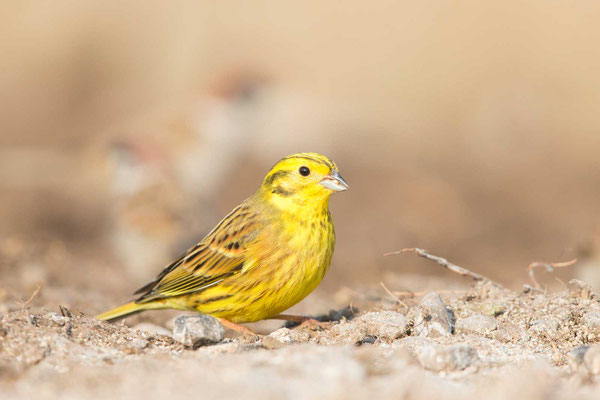 Goldammer (Emberiza citrinella) - Yellowhammer - 1