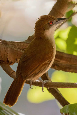 Weißbrust-Ameisenwürger (Taraba major) - Great Antshrike - 1