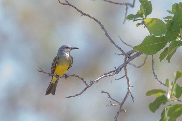 Trauerkönigstyrann (Tyrannus melancholicus); Tropical Kingbird - 4