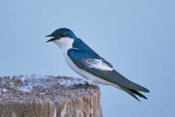 Cayenneschwalbe, Tachycineta albiventer, White-winged Swallow - 3