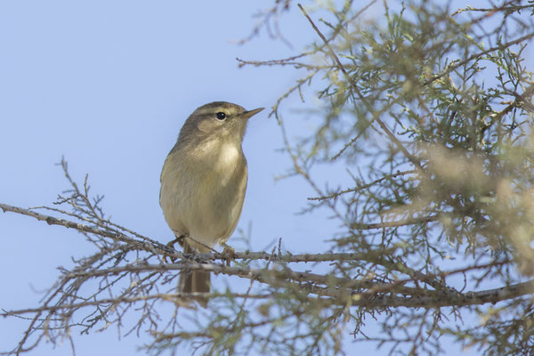 Kanarenzilpzalp (Phylloscopus canariensis) - Canary Islands Chiffchaff - 3