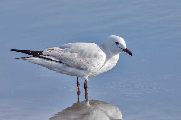 Silberkopfmöwe (Chroicocephalus novaehollandiae) - Silver gull - 4