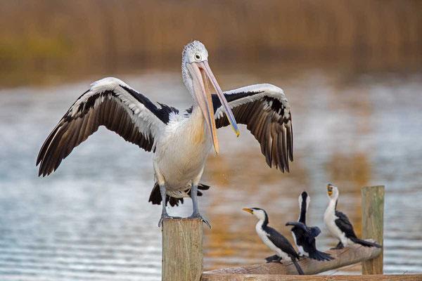 Brillenpelikan (Pelecanus conspicillatus) - Australian pelican - 3