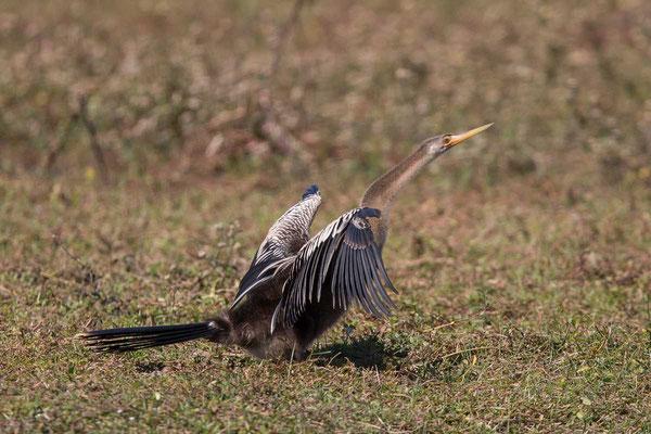 Amerikanische Schlangenhalsvogel  Anhinga, Anhinga anhinga - 1
