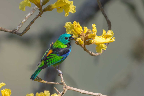 Dreifarbentangare (Tangara seledon) - Green-headed Tanager - 7