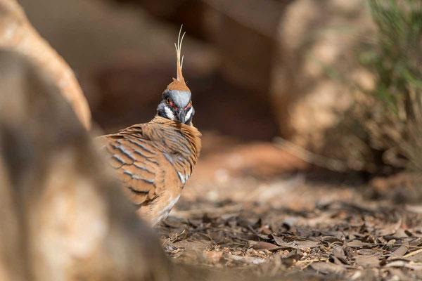 Rotschopftaube (Geophaps plumifera) - Spinifex pigeon - 3