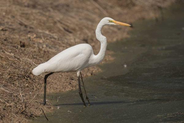 östlicher Silberreiher (Ardea modesta) - Eastern great egret - 1