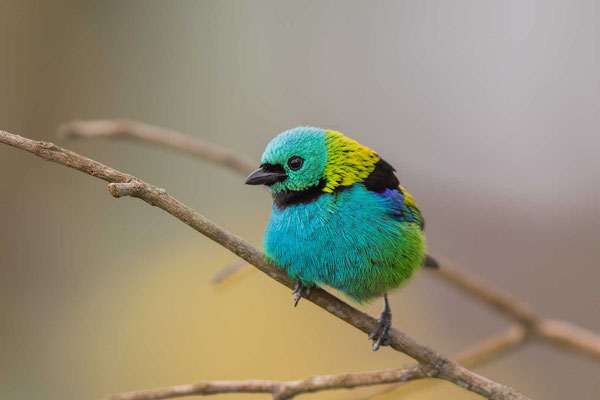 Dreifarbentangare (Tangara seledon) - Green-headed Tanager - 11