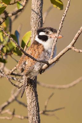 Weißohr-Faulvogel (Nystalus chacuru) - 1