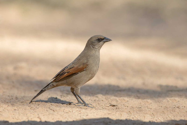 Graukuhstärling (Agelaioides badius) - Greyish Baywing - 6