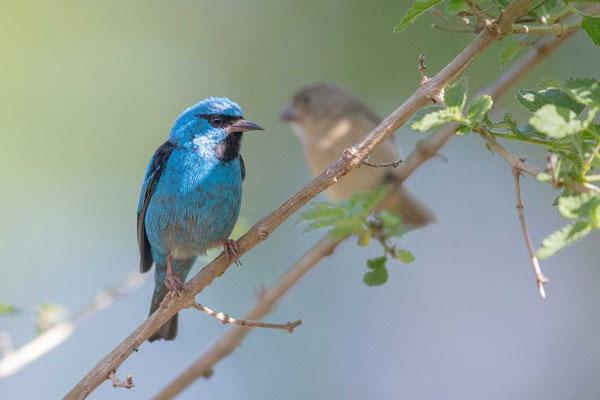 Pitpit (Dacnis cayana) - Blue Dacnis - 7