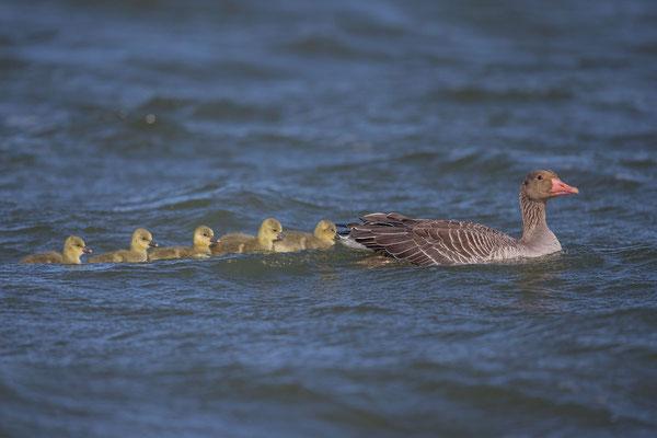 Graugans, Anser anser, Greylag goose - 13