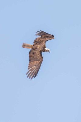 Australischer Fischadler, Eastern Osprey, Pandion cristatus - 3