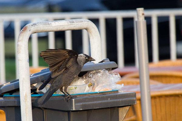 Dohle (Corvus monedula) - 3